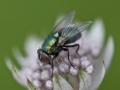 Grön Fluga_Kvadratisk